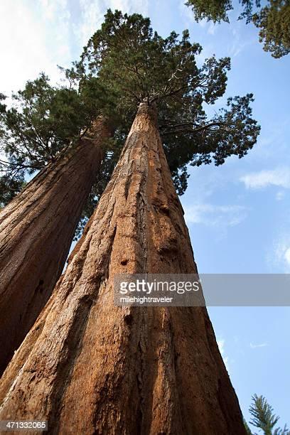 Pair of Giant Sequoia trees in General Grant Grove vertical