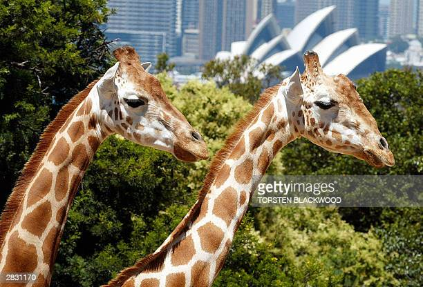 A pair of giraffes enjoy the view of the Opera House on Christmas Day from their enclosure at Sydney's Taronga Zoo 25 December 2003 Taronga Zoo...