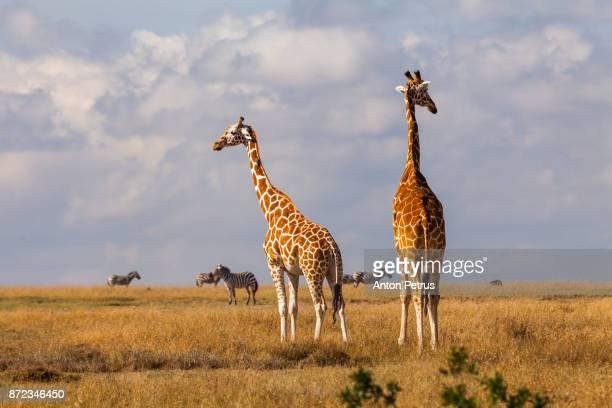 Pair of giraffes in savannah, Kenya