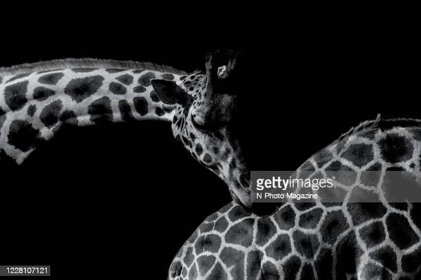 This image has been converted to black and white) A pair of giraffes photographed against a black background, taken on September 6, 2019.