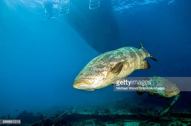 A pair of Goliath Groupers off the coast of Key Largo, Florida.