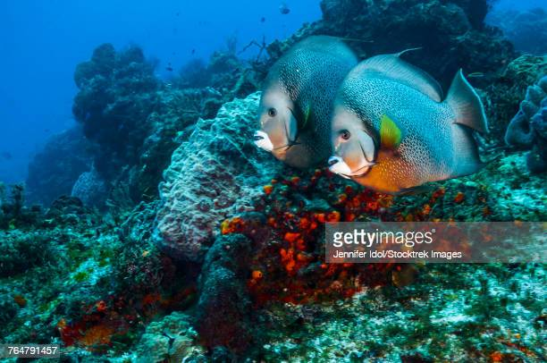 A pair of gray angelfish swimming across the reef in Cozumel, Mexico.