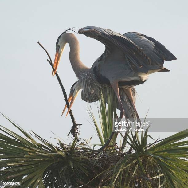 Pair of Great Blue Herons Building a Nest