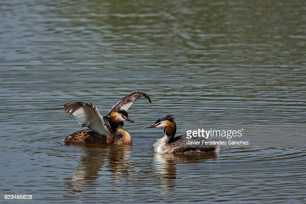 A pair of great crested grebe (Podiceps cristatus) during courtship, in a lagoon.