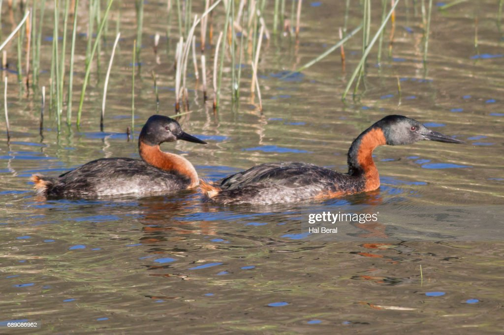 Pair of Great Grebes : Stock Photo