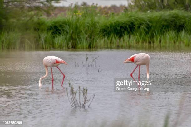 A pair of greater flamingos (Phoenicopterus roseus) feeding in a marsh area of the wetlands of Laguna de Fuente de Piedra, Andalusia, Spain.