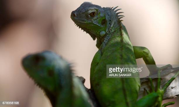 A pair of Green Iguana also known as American Iguana look on while on display at Guindy Snake Park in Chennai on May 4 after being purchased from a...