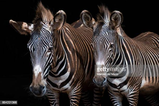 A pair of Grevy Zebras posing in Cabarceno Natural Park The park is known for the semi freedom conditions of the animals
