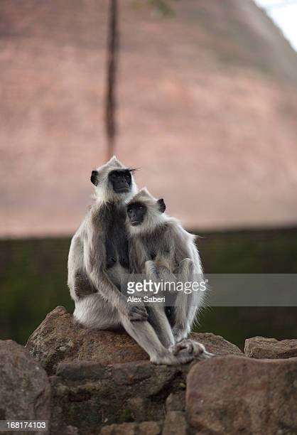 a pair of hanuman langurs outside jethawana temple. - alex saberi stock pictures, royalty-free photos & images