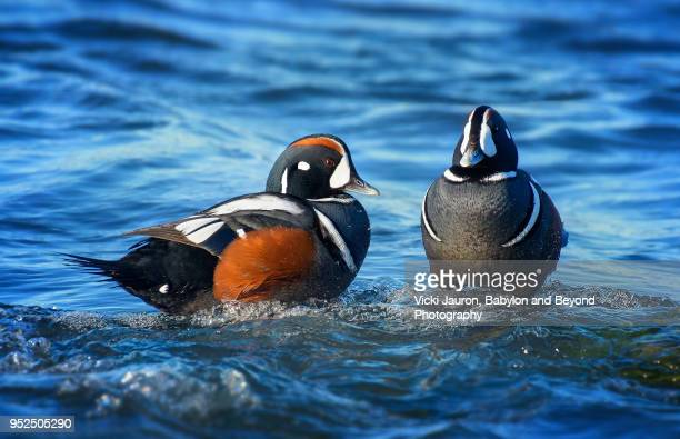 pair of harlequin duck males in blue water - jones beach stock pictures, royalty-free photos & images