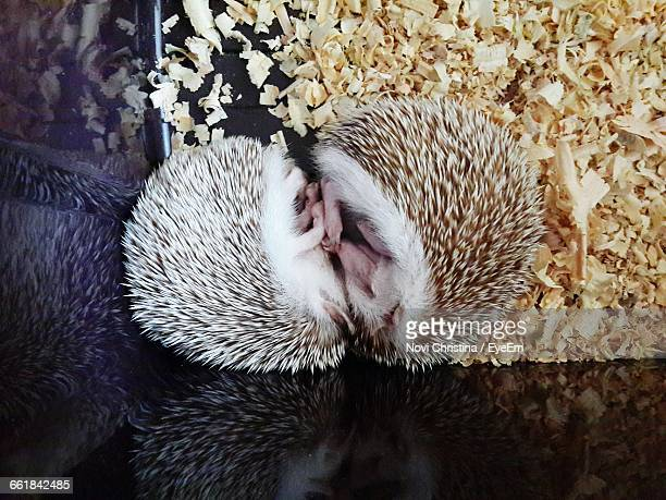 pair of hedgehogs sleeping - hibernation stock pictures, royalty-free photos & images