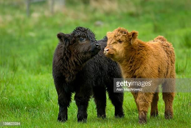 Pair of Highland Cattle calves, Glen Nevis, Lochaber, Highland, Scotland, UK