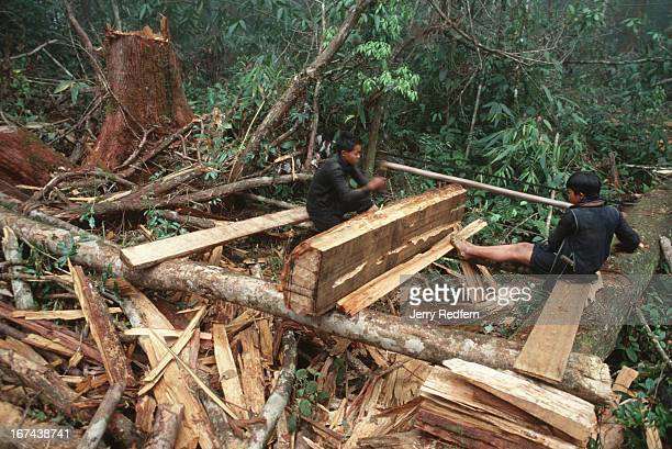 A pair of Hmong boys cuts a sandalwood log into pieces small enough to be carried out of the jungle by Hmong men Behind them is the stump of the tree...
