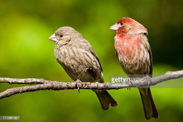 Pair of House Finches in a Tree