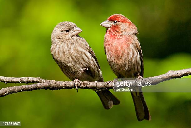 pair of house finches in a tree - house finch stock pictures, royalty-free photos & images
