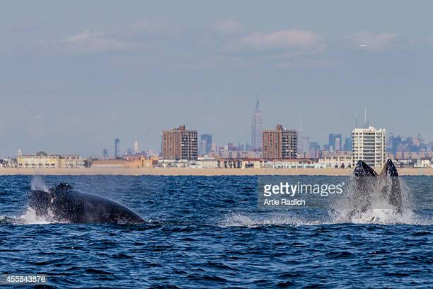 A pair of Humpback whales lunge feeding off NYC's Rockaway Peninsula with The Empire State Building in the background on September 15 2014 in New...