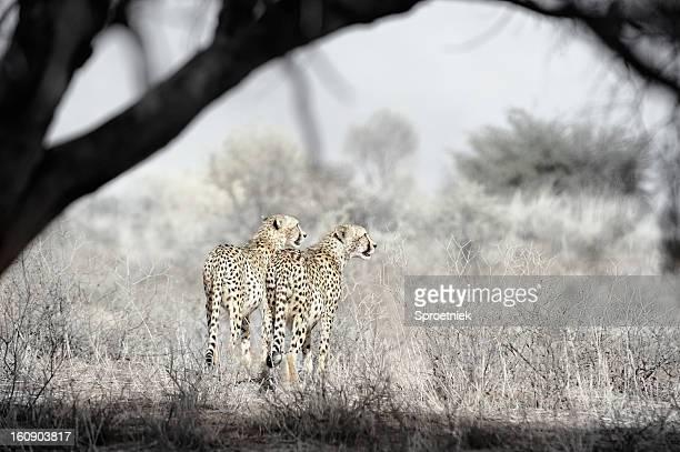Pair of hunting cheetahs framed by tree