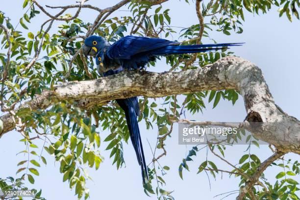 pair of hyacinth macaws - arara azul grande imagens e fotografias de stock