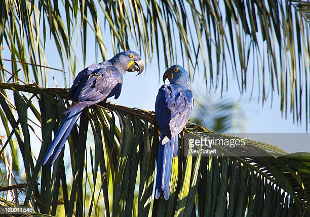 a pair of hyacinthine macaws, anodorhynchus hyacinthinus, playing. - alex saberi stock pictures, royalty-free photos & images