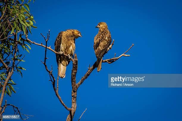Pair of juvenile Whistling Kites