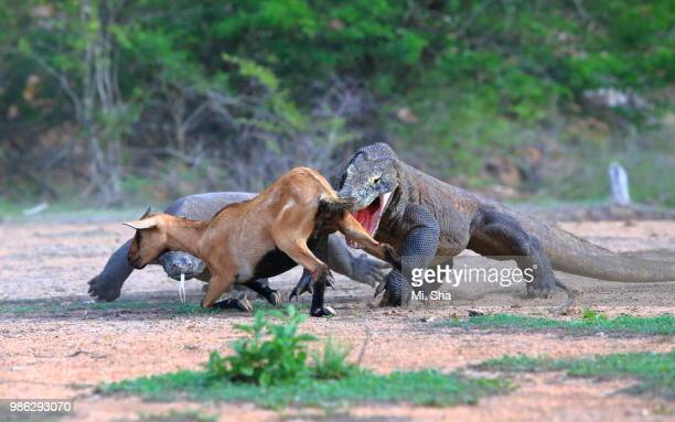 a pair of komodo dragons hunting an antelope in borneo, indonesia. - animals attacking stock pictures, royalty-free photos & images