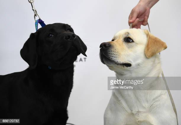 A pair of Labrador Retrievers the number 1 most popular breed of 2016 are shown at The American Kennel Club Reveals The Most Popular Dog Breeds Of...
