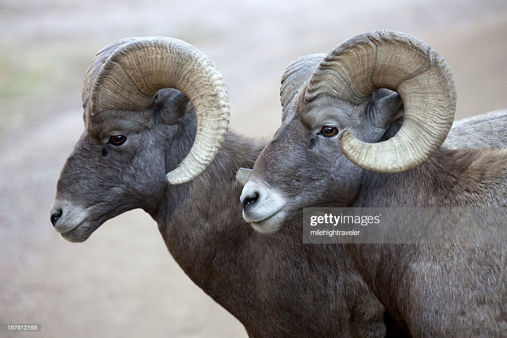 Pair of Large Bighorn Sheep Rams, Colorado : Stock Photo