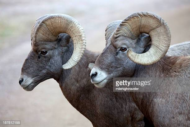 pair of large bighorn sheep rams, colorado - ram animal stock photos and pictures
