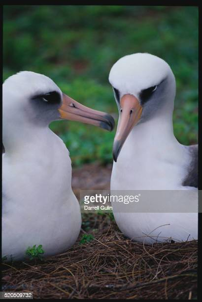 pair of laysan albatrosses - midway atoll stock pictures, royalty-free photos & images