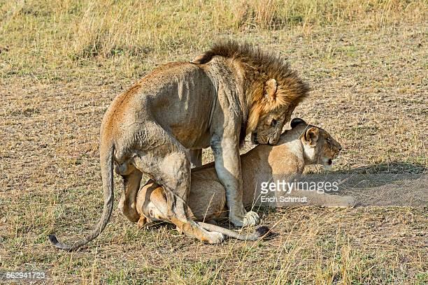 Pair of Lions -Panthera leo-, mating, Maasai Mara National Reserve, Kenya