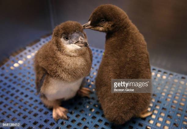 A pair of little blue penguin chicks are displayed at the New England Aquarium in Boston on April 17 2018 Four little blue penguin chicks have been...