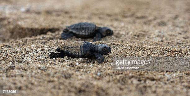 A pair of Loggerhead turtle hatchlings race for the Mediterranean Sea after they were freed by Israeli ecologists after being trapped in their 40 cm...