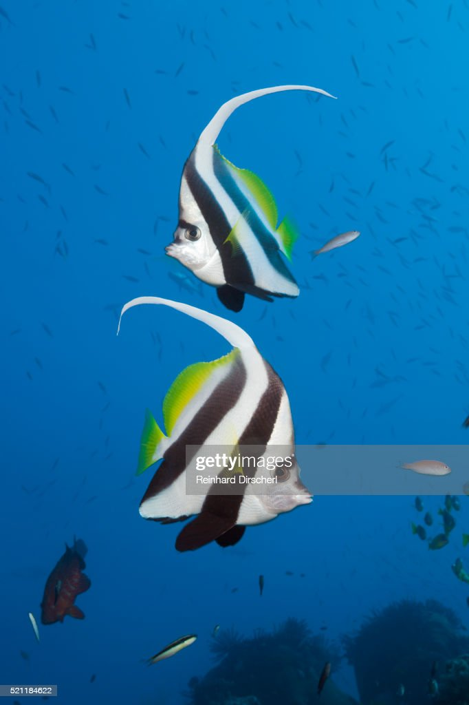 Pair of Longfin Bannerfish, Heniochus acuminatus, Great Barrier Reef, Australia