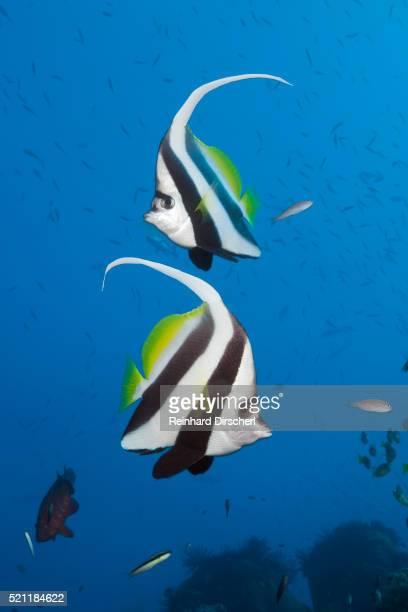 Pair of Longfin Bannerfish, Australia