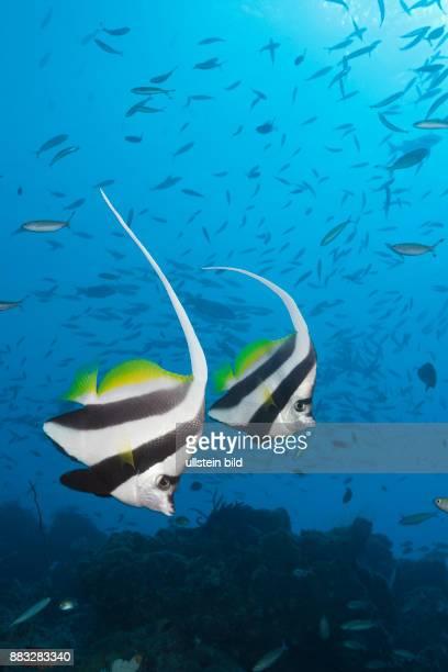 Pair of Longfin Bannerfish Heniochus acuminatus Great Barrier Reef Australia