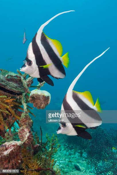 Pair of Longfin Bannerfish Heniochus acuminatus Triton Bay West Papua Indonesia