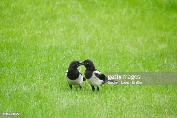 a pair of magpies - two animals stock pictures, royalty-free photos & images