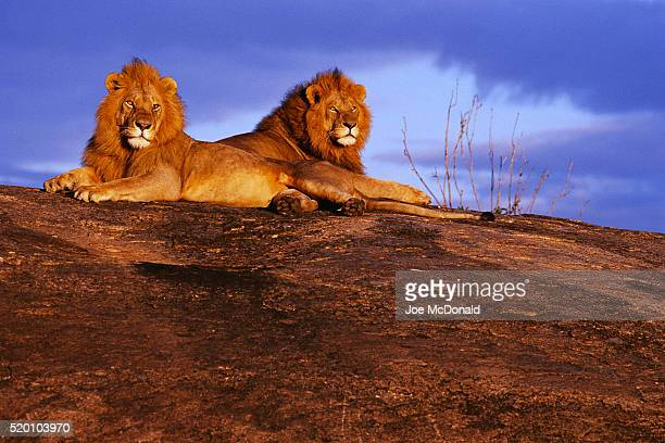 Pair of Male African Lions at Dawn