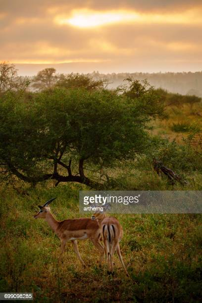 Pair of Male Impalas, Kruger National Park, Limpopo, South Africa