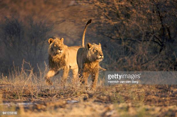 Pair of male lions (Panthera leo) running, Namibia.