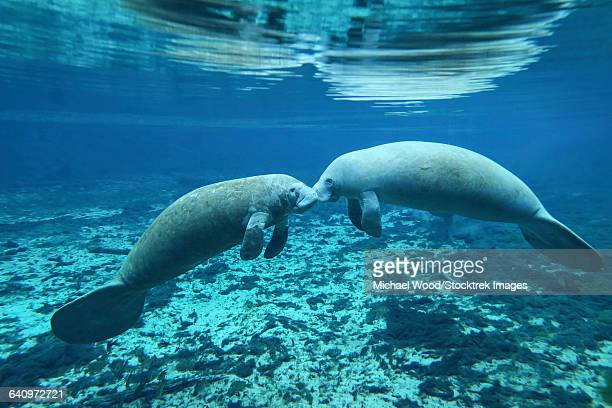 a pair of manatees appear to be greeting each other, fanning springs, florida. - fish love ストックフォトと画像