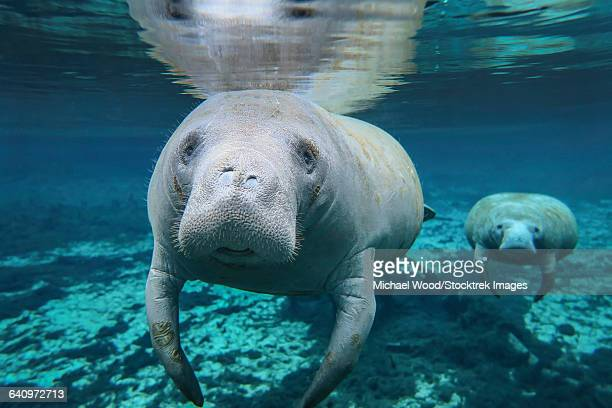 a pair of manatees swimming in fanning springs state park, florida. - florida manatee stock pictures, royalty-free photos & images