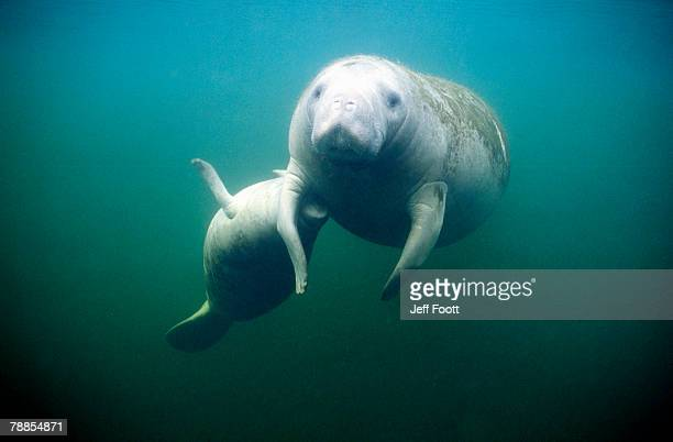 pair of manatees (trichechus manatus) swimming in the crystal river, florida, usa - florida manatee stock pictures, royalty-free photos & images