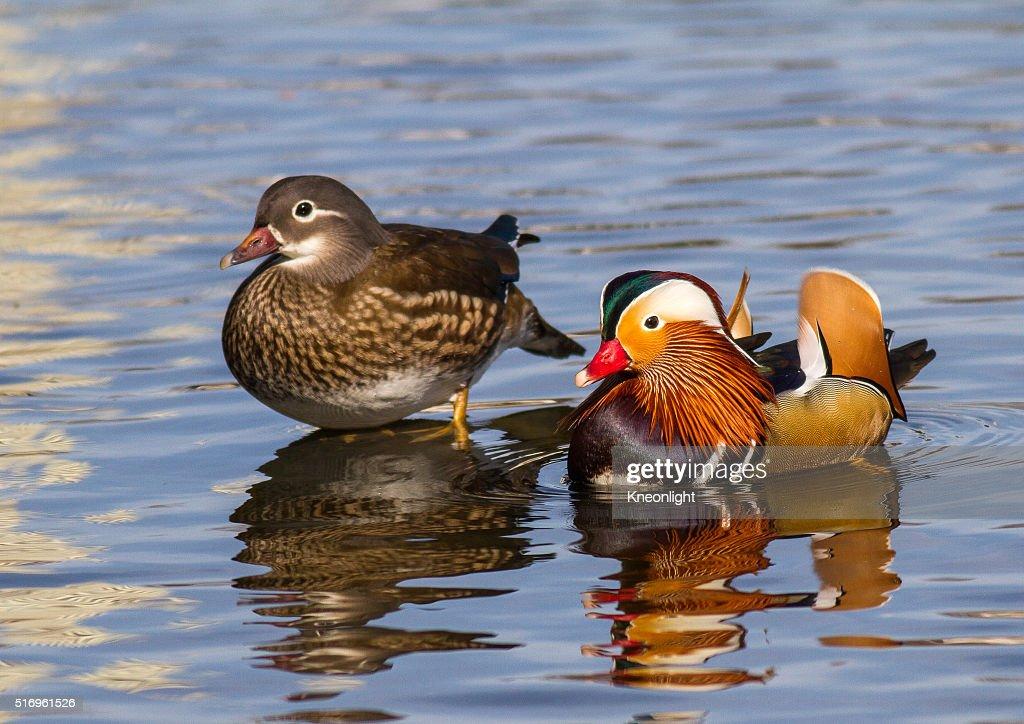 Pair of Mandarin Ducks : Stock Photo
