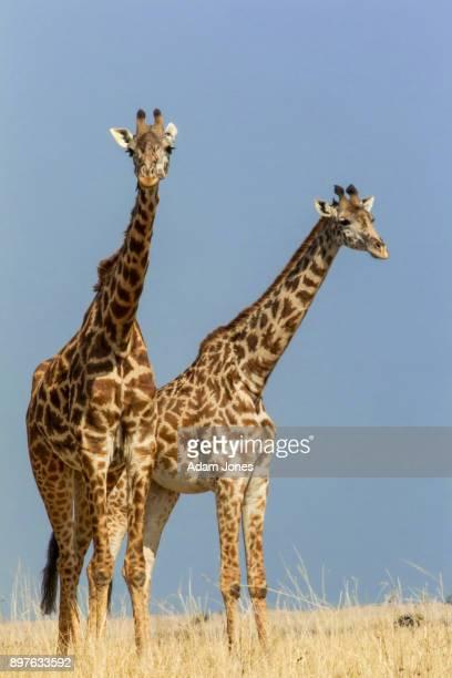 Pair of Masai Giraffes standing in golden grass