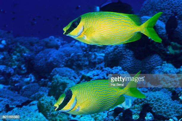 Pair of Masked Rabbitfish