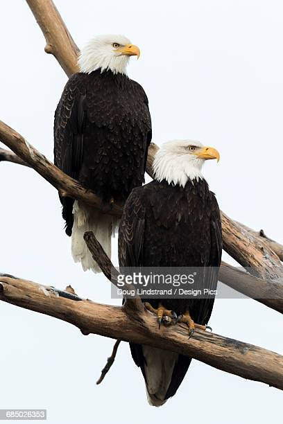 a pair of mated adult bald eagles (haliaeetus leucocephalus) perch in a tree and shortly thereafter mated - perching stock photos and pictures