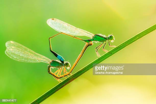 A pair of mating common bluetail damselflies