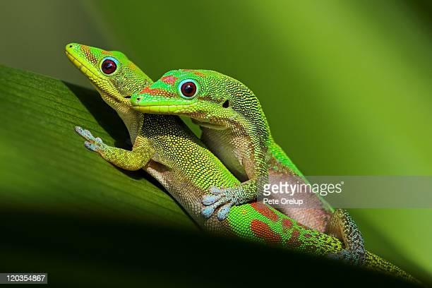 pair of mating green geckos - accoppiamento animale foto e immagini stock