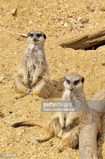 A pair of meerkats at Marwell Zoo Winchester April 30 2010